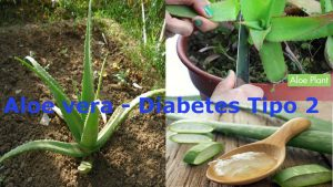 ¿Por qué una persona con diabetes debe consumir aloe vero(sábila)? El aloe vera contiene grandes beneficios y propiedades para personas con diabetes y un buen control de glucosa.