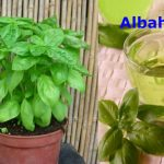Cultiva la albahaca contra la glucosa alta