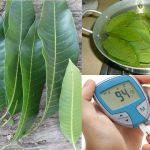 Hojas de mangos, remedio natural para la Diabetes