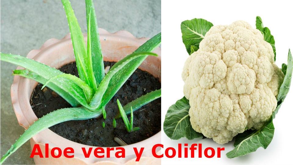 El Aloe vera y la Coliflor para diabéticos Esto 2 grandes alimentos son consumidos en todo el mundo y ambos tiene múltiples usos comerciales y gastronómicos.
