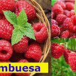 Frambuesa para controlar la glucosa y combatir el cáncer